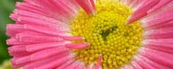 Care of the plant Bellis perennis or Common daisy.