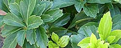 Care of the plant Pachysandra terminalis or Japanese spurge.