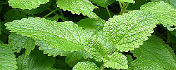 Care of the plant Melissa officinalis or Common balm.