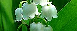 Care of the plant Convallaria majalis or Lily of the valley.