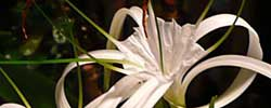 Care of the plant Hymenocallis or Spider lily.