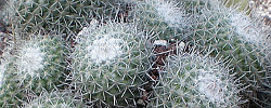 Care of the plant Mammillaria haageana or Mexican Pincushion Cactus.
