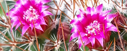 Care of the plant Mammillaria rhodantha or Rainbow pincushion.