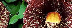 Care of the plant Aristolochia or Dutchman's pipe.